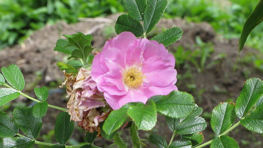 Pink_flower_b